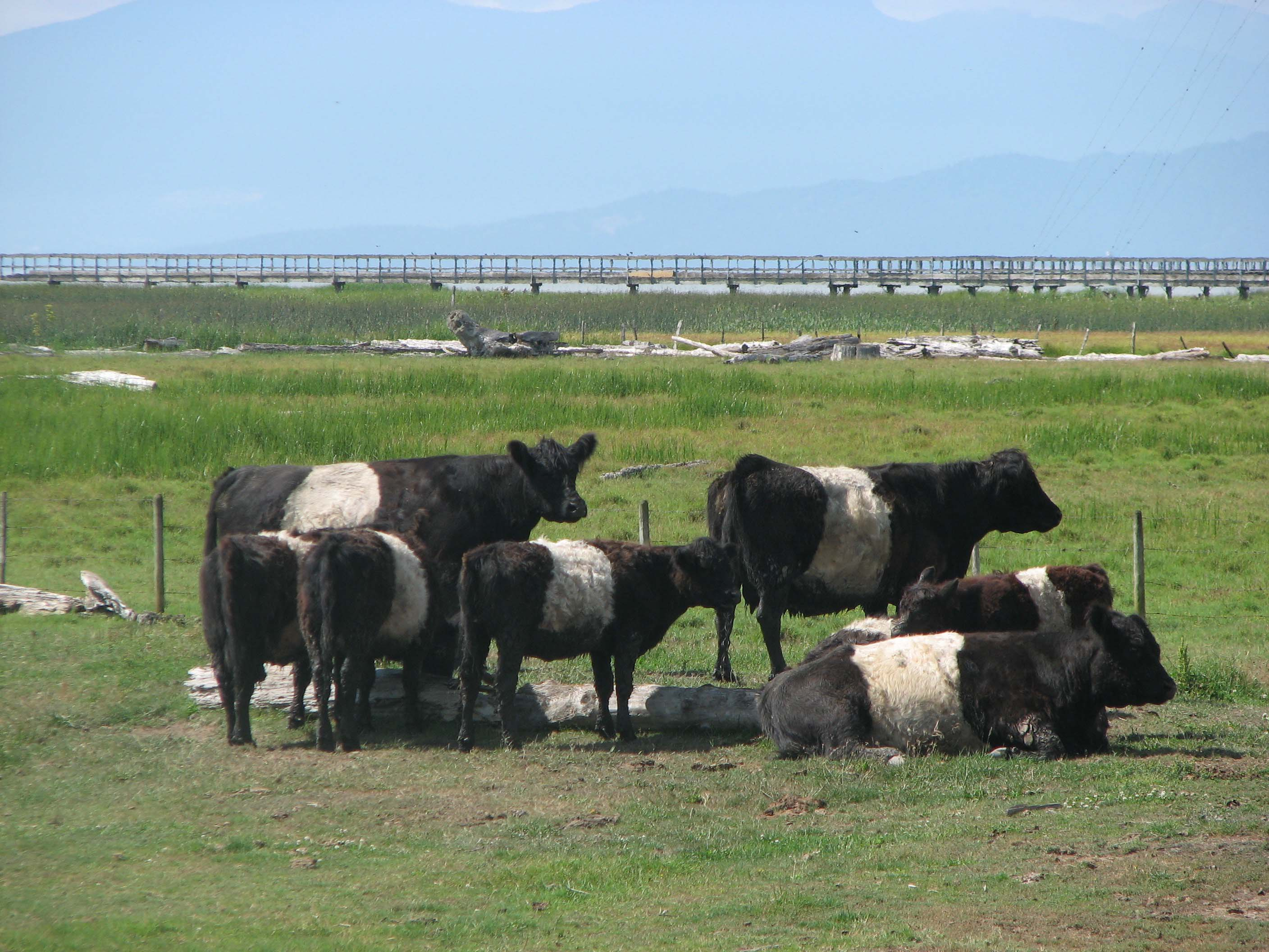 Cows on ocean grazing area in Richmond